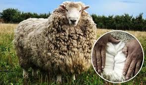 Одеяло из овечьей шерсти: особенности и преимущества