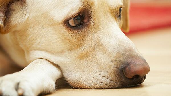 Боль, страх и сердечный приступ: чем праздники опасны для собак
