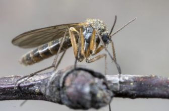 В Италии выведен комар-мутант, уничтожающий опасных москитов