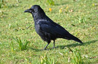 Мистический ворон: что символизирует, почему нападает на людей? Приметы, связанные с атакой птицы