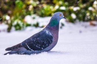 Роковая птица или символ счастья? Приметы, если голубь залетел на балкон или в квартиру, иные поверья