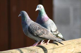 Все приметы о птице мира: к чему это, если голубь сел на подоконник? Иные поверья