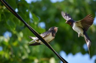 Поверья о ласточках: к чему они летают низко и высоко, какие еще приметы связаны с этими птицами?
